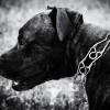 Kan en hund sikre dit hus mod indbrud?