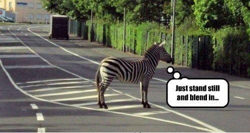 zebra-on-the-road-photo