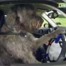 Hund kører bil
